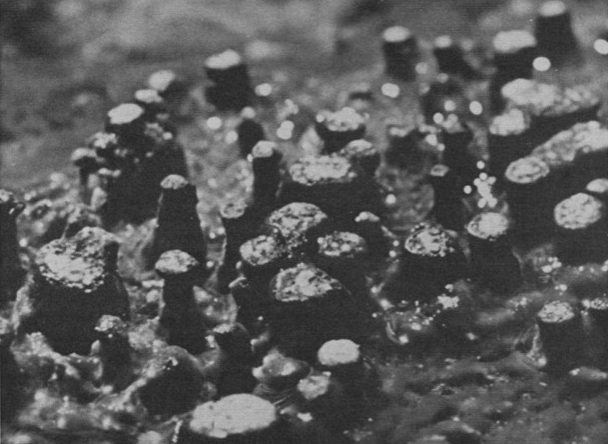 Siliceous algal and bacterial stromatolites in hot spring and geyser effluents of Yellowstone National Park. Photo Credit: Malcolm Walter et al., Science, 1972